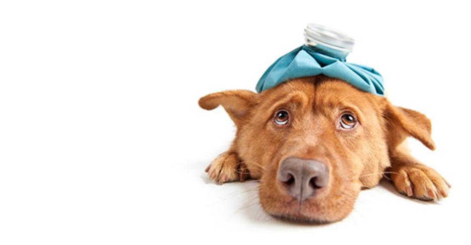 Evcil Hayvanlara Korona Virüsü Bulaşır Mı?