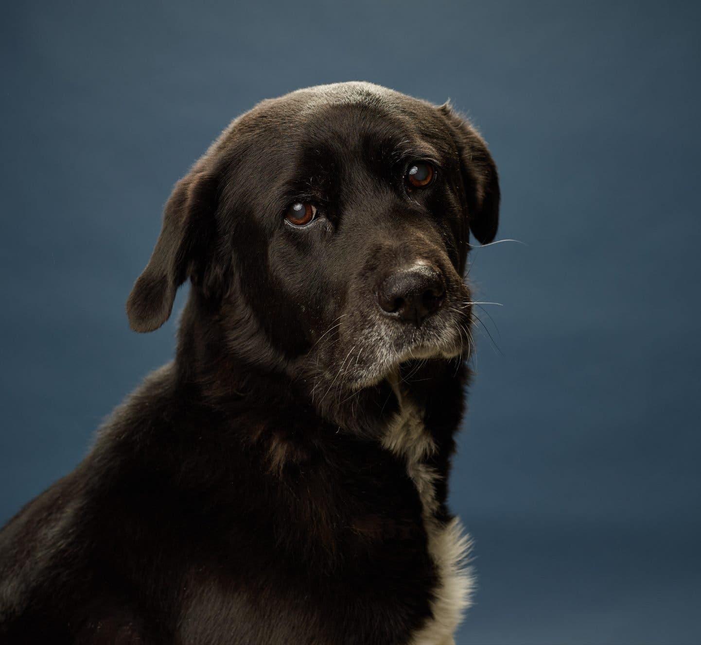 Afador köpeğinin kişiliği ve bakımı