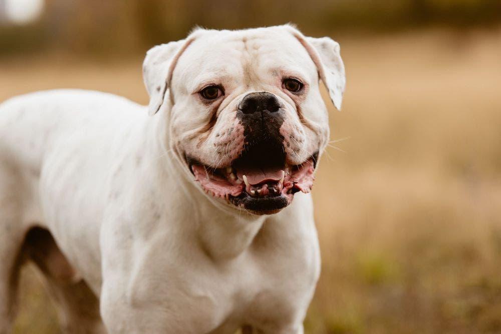 Amerikan bulldog köpeğinin kişiliği ve bakımı