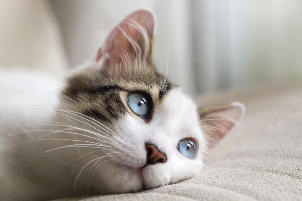 Kedilerde görülen davranış bozuklukları nedenleri ve çözümleri