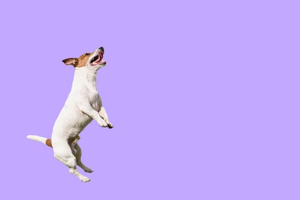 Köpeğinizin zıplamasına nasıl engel olabilirsiniz?